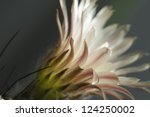 flowering cactus from... | Shutterstock . vector #124250002