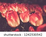 beautiful colorful yellow   red ...   Shutterstock . vector #1242530542
