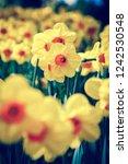 beautiful colorufl yellow...   Shutterstock . vector #1242530548