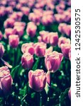 beautiful colorful pink tulips...   Shutterstock . vector #1242530575
