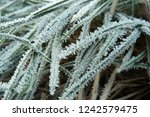 hoarfrost on the grass. ice... | Shutterstock . vector #1242579475