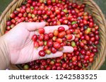 coffee bean or coffee seed in... | Shutterstock . vector #1242583525