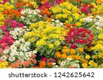 beautiful flowers of zinnia... | Shutterstock . vector #1242625642