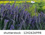 Luscious Lavender Fields Are...