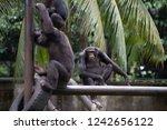 chimpanzees relaxing  playing...   Shutterstock . vector #1242656122
