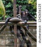 chimpanzees relaxing  playing...   Shutterstock . vector #1242656125