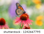 Monarch Butterfly On A Pink...