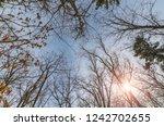 tree branch silhouette over... | Shutterstock . vector #1242702655