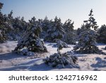 majestic white spruces  covered ... | Shutterstock . vector #1242716962