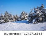 majestic white spruces  covered ... | Shutterstock . vector #1242716965