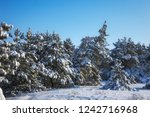 majestic white spruces  covered ... | Shutterstock . vector #1242716968