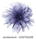 violet dahlia  flower white ... | Shutterstock . vector #1242726238