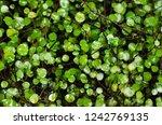 muehlenbeckia complexa.... | Shutterstock . vector #1242769135