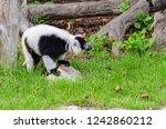 black and white ruffed lemur or ... | Shutterstock . vector #1242860212