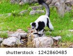 black and white ruffed lemur or ... | Shutterstock . vector #1242860485