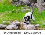 black and white ruffed lemur or ... | Shutterstock . vector #1242860905