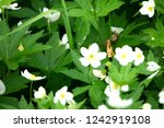 close up of snowdrops on a...   Shutterstock . vector #1242919108