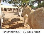 bikaner  india   november 24 ... | Shutterstock . vector #1243117885