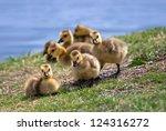 Canada Goose Goslings In The...
