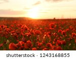 lush flowering red wild poppies ... | Shutterstock . vector #1243168855