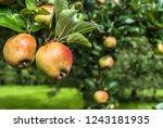 rosemary russet apples hanging... | Shutterstock . vector #1243181935