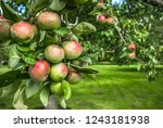 mcintosh apples hanging from... | Shutterstock . vector #1243181938