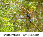 pair of greater racket tailed... | Shutterstock . vector #1243186885