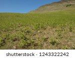 young spring bracken  pteridium ... | Shutterstock . vector #1243322242