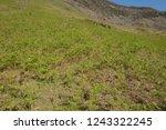young spring bracken  pteridium ... | Shutterstock . vector #1243322245
