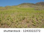 young spring bracken  pteridium ... | Shutterstock . vector #1243322272