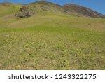young spring bracken  pteridium ... | Shutterstock . vector #1243322275