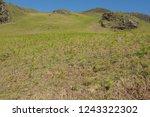 young spring bracken  pteridium ... | Shutterstock . vector #1243322302