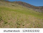young spring bracken  pteridium ... | Shutterstock . vector #1243322332