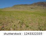 young spring bracken  pteridium ... | Shutterstock . vector #1243322335