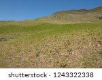 young spring bracken  pteridium ... | Shutterstock . vector #1243322338