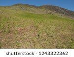 young spring bracken  pteridium ... | Shutterstock . vector #1243322362