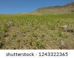 young spring bracken  pteridium ... | Shutterstock . vector #1243322365