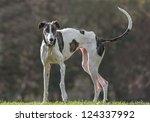 Female Spanish Greyhound Poses