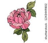vector rose. floral botanical... | Shutterstock .eps vector #1243449802