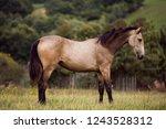 brown horse stands on meadow    Shutterstock . vector #1243528312