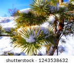 Crimean Pine Branches With Sno...