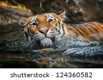 Beautiful Tiger Swimming In...