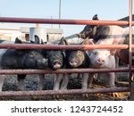 black and pink hogs squeeze... | Shutterstock . vector #1243724452
