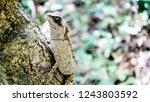 the oriental garden lizard ... | Shutterstock . vector #1243803592