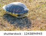 A Big Painted Turtle In Orland...