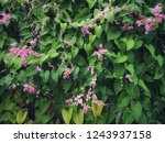 pink flowers are bunched... | Shutterstock . vector #1243937158