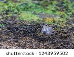 white wagtail or motacilla alba.... | Shutterstock . vector #1243959502