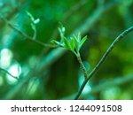 little new leaves of rowan... | Shutterstock . vector #1244091508