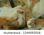peaceful cat nap   Shutterstock . vector #1244092018