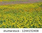 beautiful marigold and cosmos... | Shutterstock . vector #1244152408